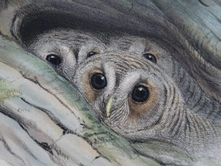 World class collection of antique lithographs and hand colored engravings over 100 years old of owlets and owls.