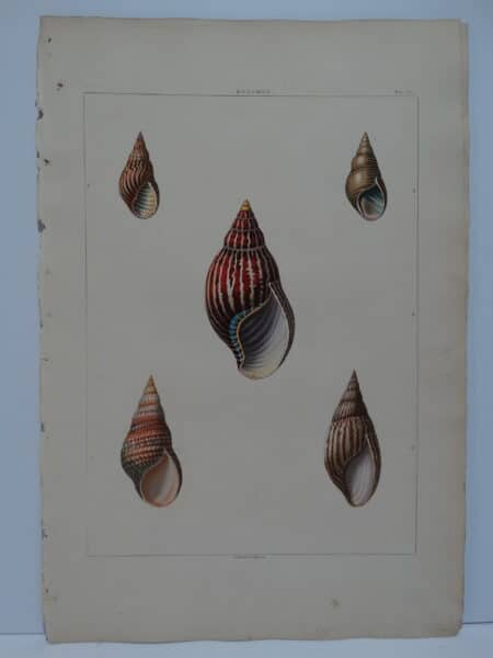 Perry Aquatint Conchology Bulimus
