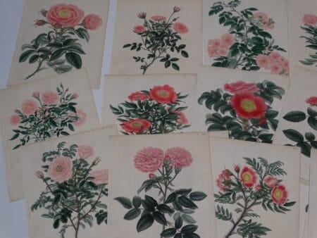 Buy Antique Rose Engravings