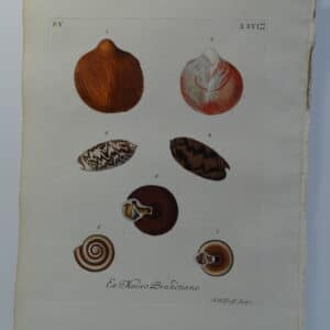 18th century George Wolfgang Knorr shell engraving hand-colored rare bookplate number 26.