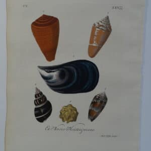 18th century George Wolfgang Knorr, mussel and cone shell engraving hand-colored rare bookplate number 25.