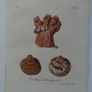 18th century George Wolfgang Knorr barnacle shell engraving hand-colored rare bookplate number 30.
