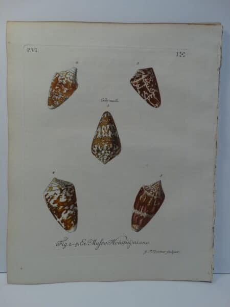 18th century George Wolfgang Knorr cone shell engraving hand-colored rare bookplate number 1.