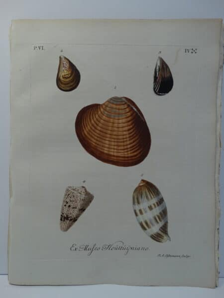 18th century George Wolfgang Knorr cone and olive shell engraving hand-colored rare bookplate number 4.