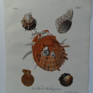 This antique engraving of a spiny scallop with barnacle shell is an important conchology documentation from 18th century book entitled Verlustiging der Oohen en van Geest of Verzameling van allerley Bekende Hoorens en Sculpen.