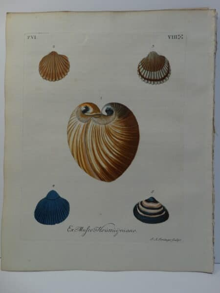 18th century George Wolfgang Knorr clam & scallop shell engraving hand-colored rare bookplate number 8.