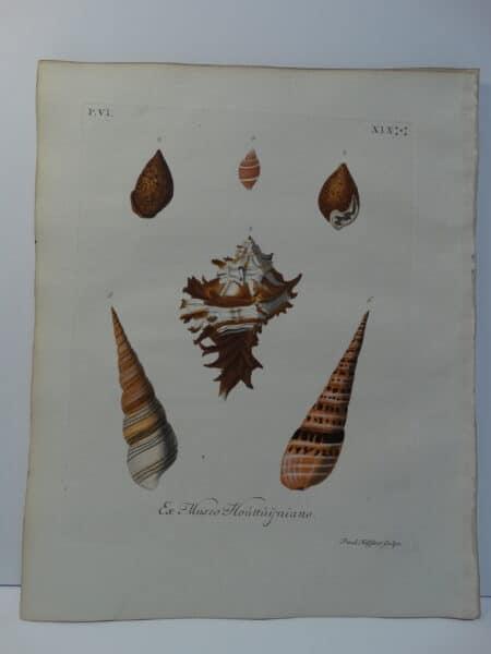 rare antique shell engraving of whelk and horn. Plate 19 is sourced from Verlustiging der Oohen en van Geest of Verzameling van allerley Bekende Hoorens en Sculpen published Amsterdam 1770-1771.