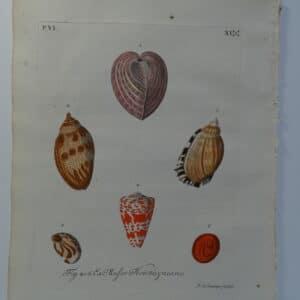 Hand-colored shell engraving, plate 11 sourced from Verlustiging der Oohen en van Geest of Verzameling van allerley Bekende Hoorens en Sculpen published Amsterdam 1770-1771.