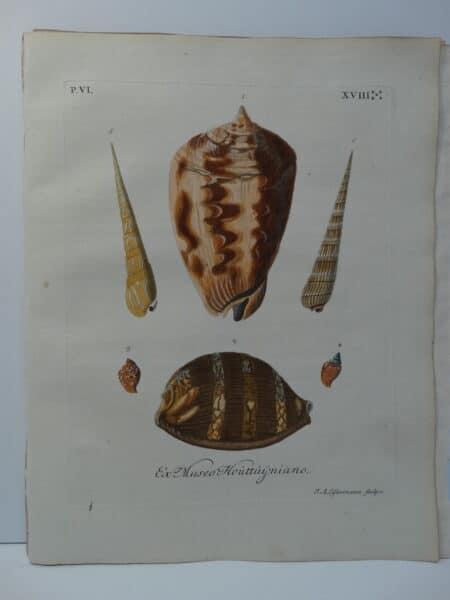 a 250 year old antique, hand-colored engraving of horn and helmet shell is an important conchology documentation from 18th century book entitled Verlustiging der Oohen en van Geest of Verzameling van allerley Bekende Hoorens en Sculpen.