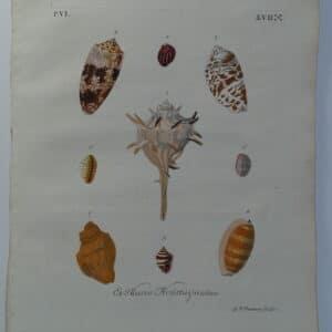 Murex & Cowrie antique shell engraving sourced from Verlustiging der Oohen en van Geest of Verzameling van allerley Bekende Hoorens en Sculpen published Amsterdam 1770-1771.