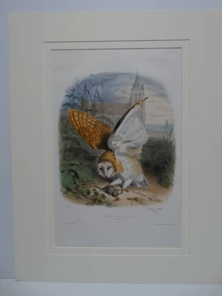 Hand watercolor lithograph of Barn Owl with wings extended. Sourced lithograph 1857 by Edouard Travies.  The title of his book is Les Oiseaux les Plus Remarqables.