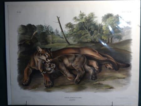 Puma concolor catamount
