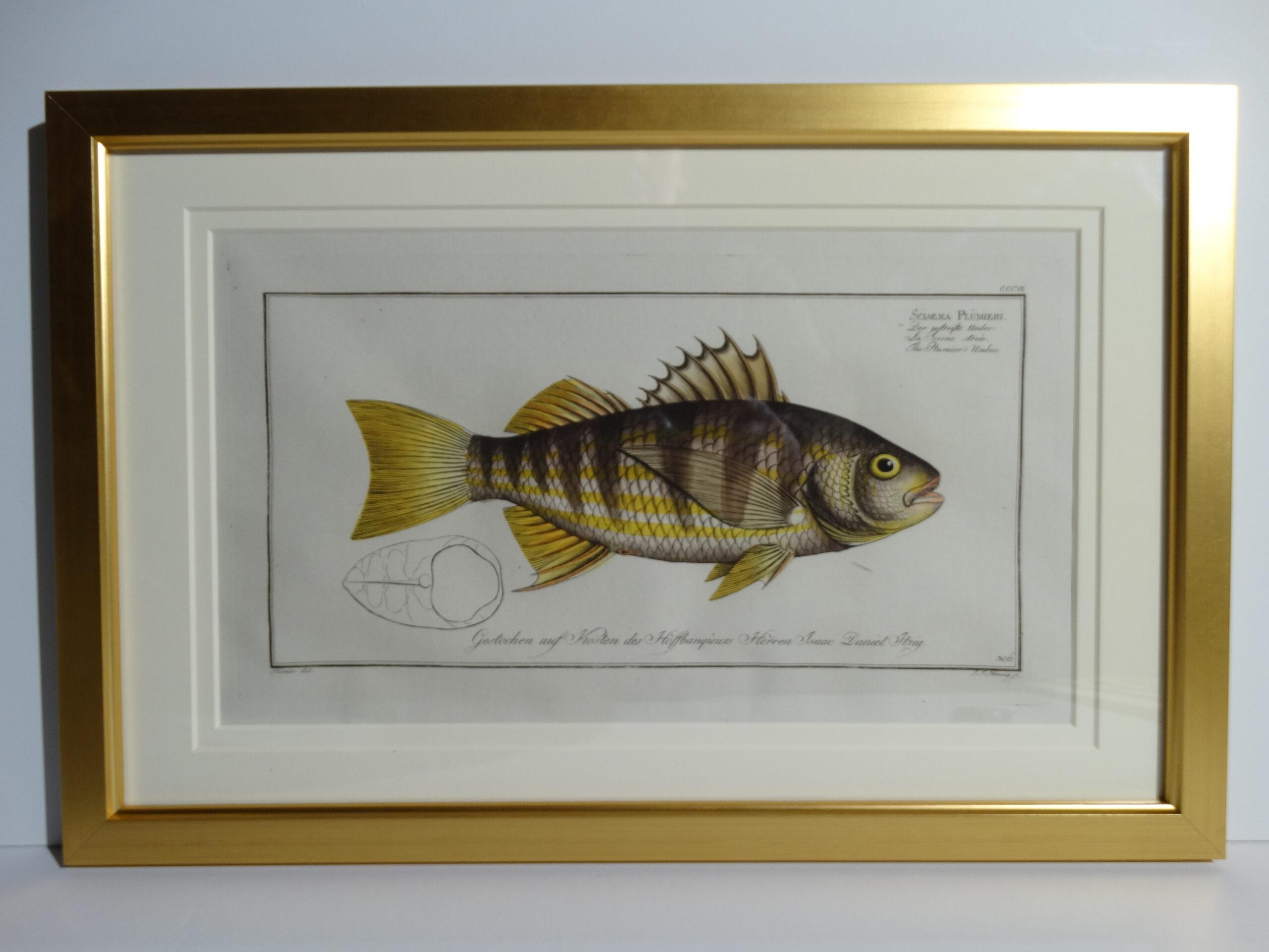 Bloch Fish Engraving Framed10