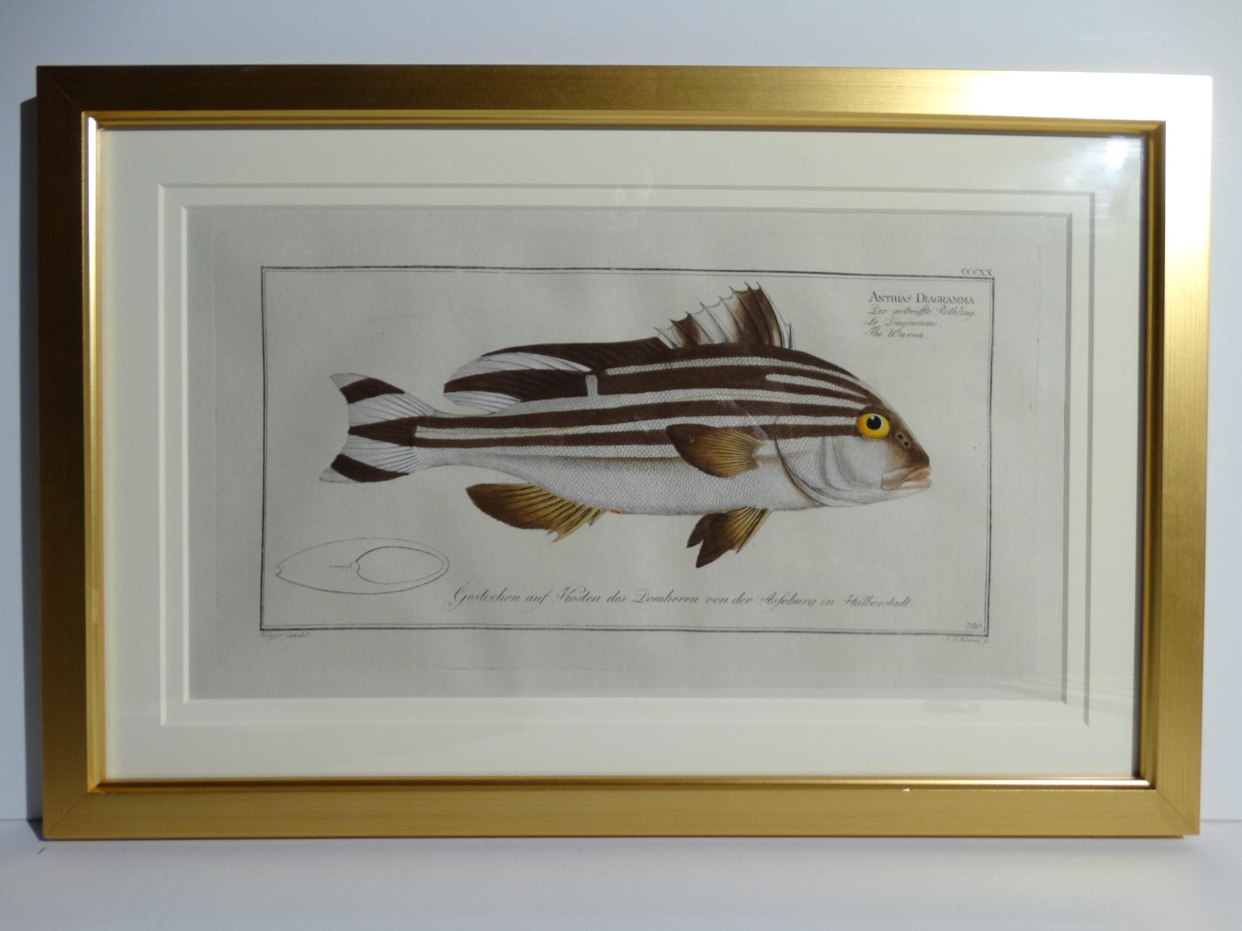 Bloch Fish Engraving Framed2