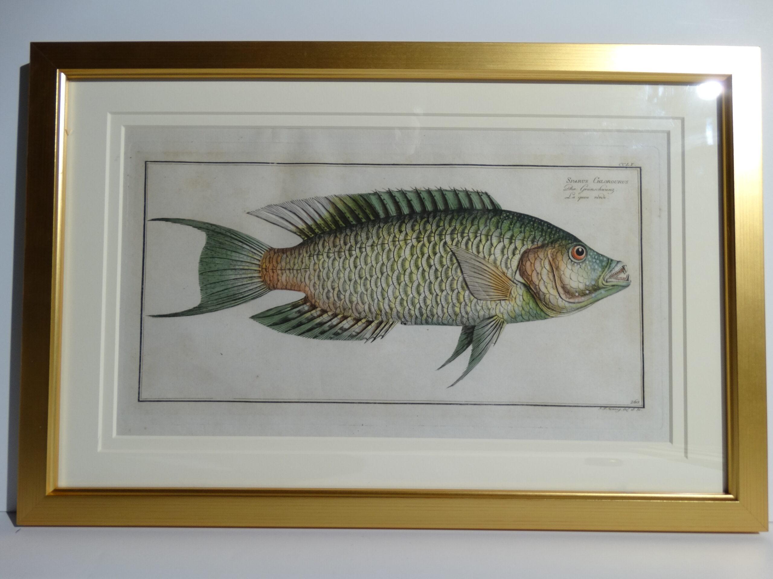 Bloch Fish Engraving Framed3