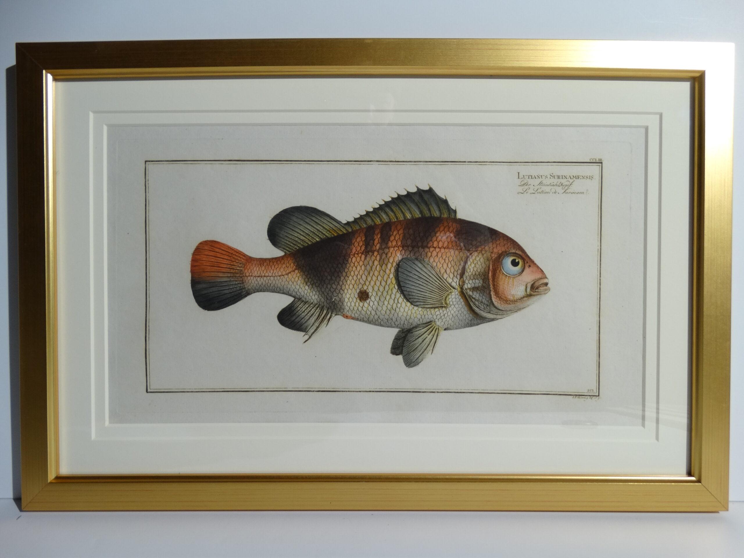 Bloch Fish Engraving Framed5