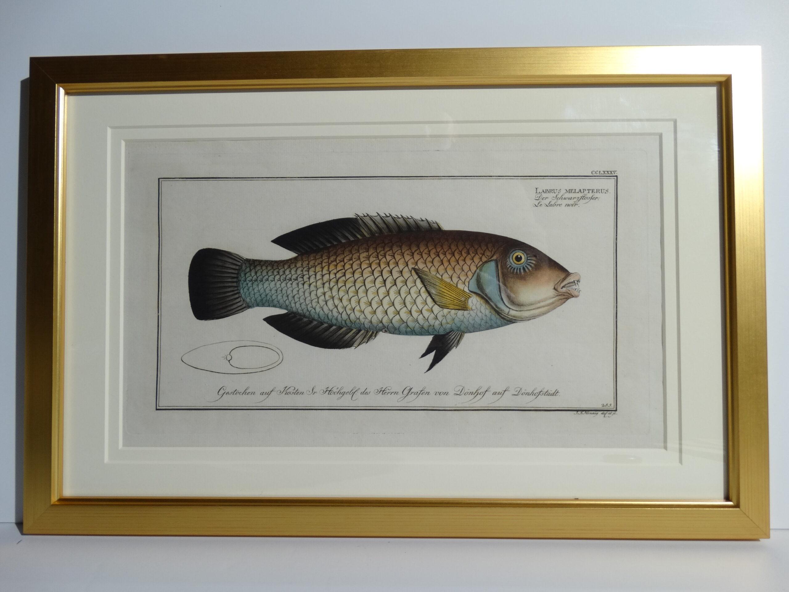 Bloch Fish Engraving Framed6