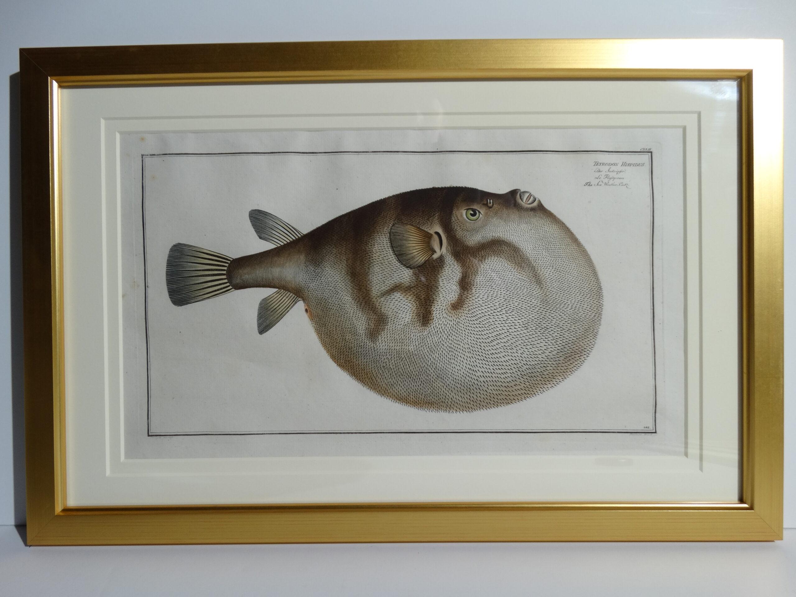Bloch Fish Engraving Framed9