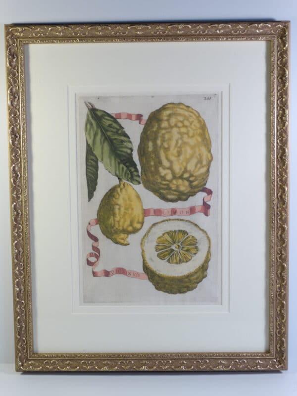 18th century lemons watercolor