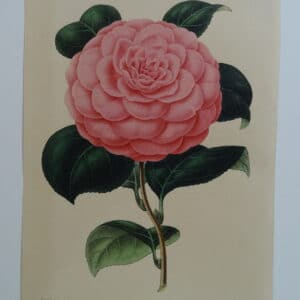 camellias-family-theaceae-genus-camellia1