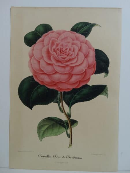 camellias-family-theaceae-genus-camellia1
