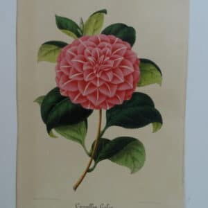 camellias-family-theaceae-genus-camellia2