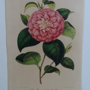camellias-family-theaceae-genus-camellia3