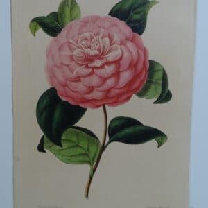 camellias-family-theaceae-genus-camellia4