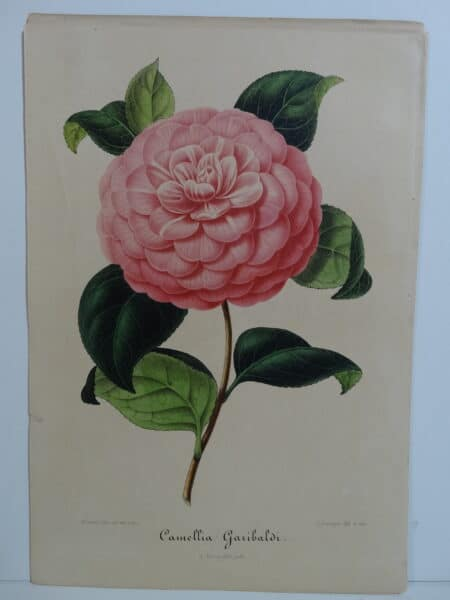 camellias-family-theaceae-genus-camellia4