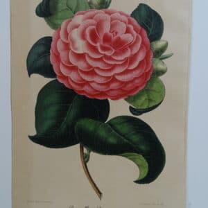 camellias-family-theaceae-genus-camellia5