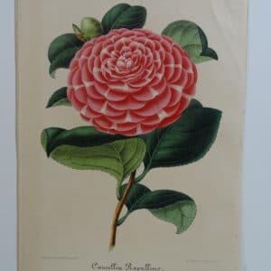 camellias-family-theaceae-genus-camellia6