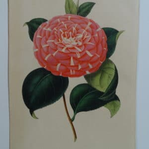 camellias-family-theaceae-genus-camellia7