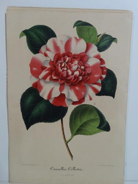 camellias-family-theaceae-genus-camellia8