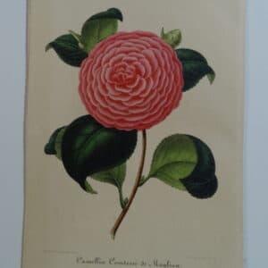 camellias-family-theaceae-genus-camellia9