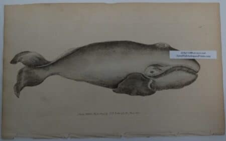 whale engraving 200 years old