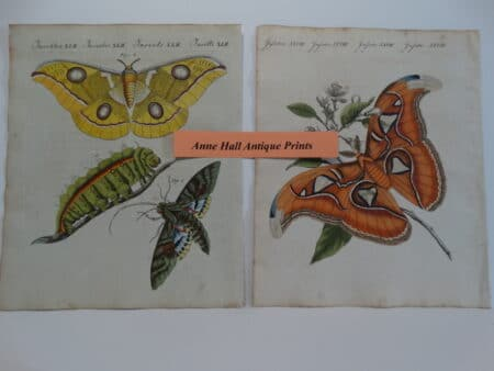 watercolor butterflies from 1790