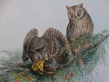 John Gould antique lithograph