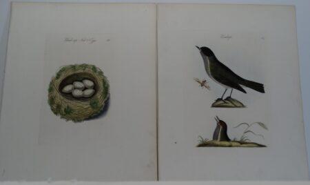 Bolton Birds Nests Eggs