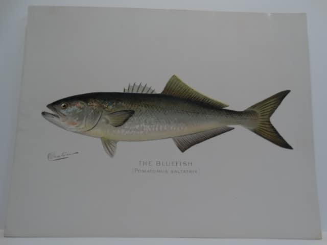 Bluefish Pomatomus saltatrix