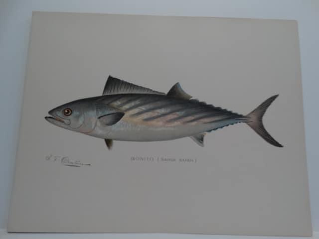 Albacore Tuna Fish