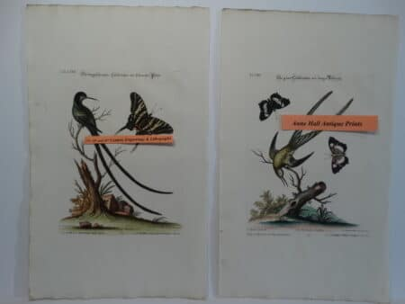 George Edwards Butterfly Engravings