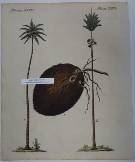 antique coconut palm engraving