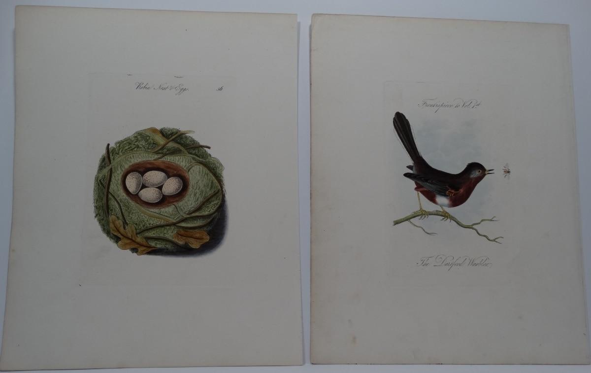 Curruca undata darting bird