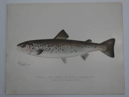 Female Quananiche Sebago Lake