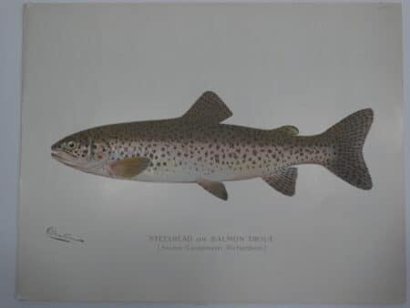 Steelhead fishing art