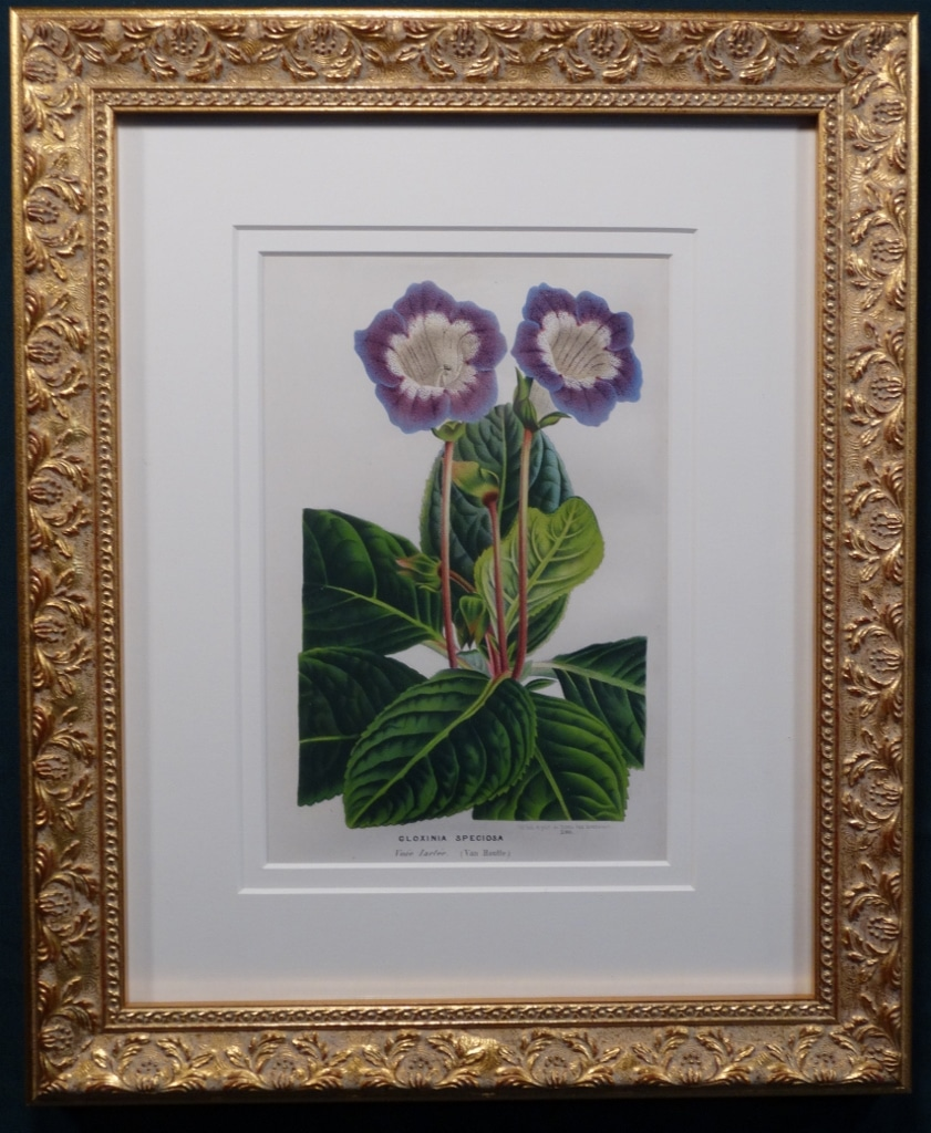 Set of three antique prints of gloxinia in purple.