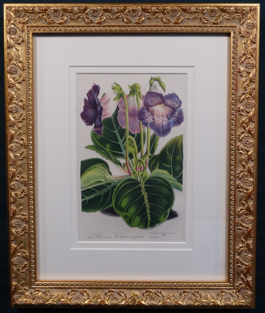decorative set of three framed antique lithograps of purple gloxinias in ornate gold frames.