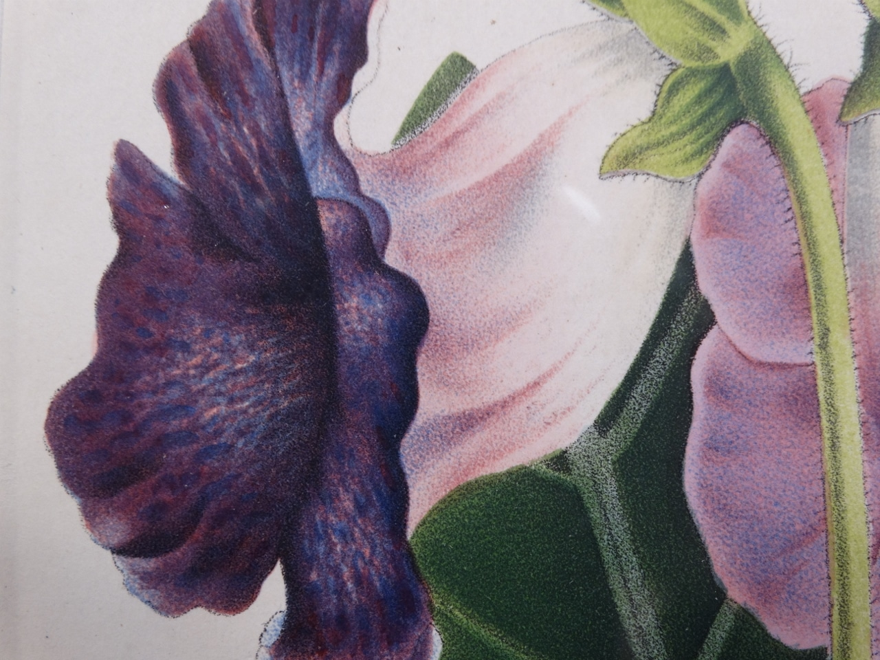 spectacular detail in mid 19th century botanical art.