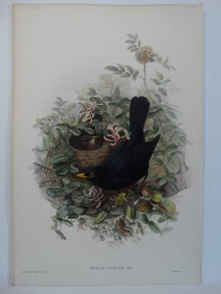 John Gould Watercolor Lithograph