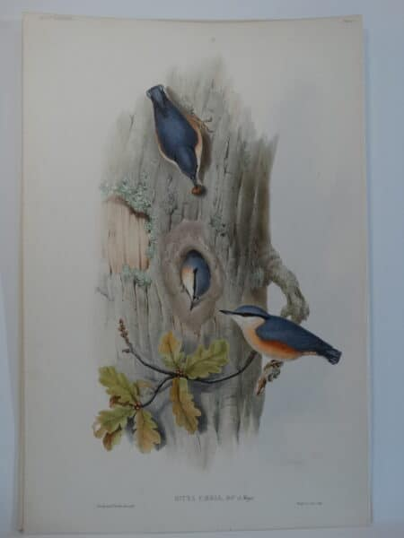 watercolor lithograph nuthatch nest